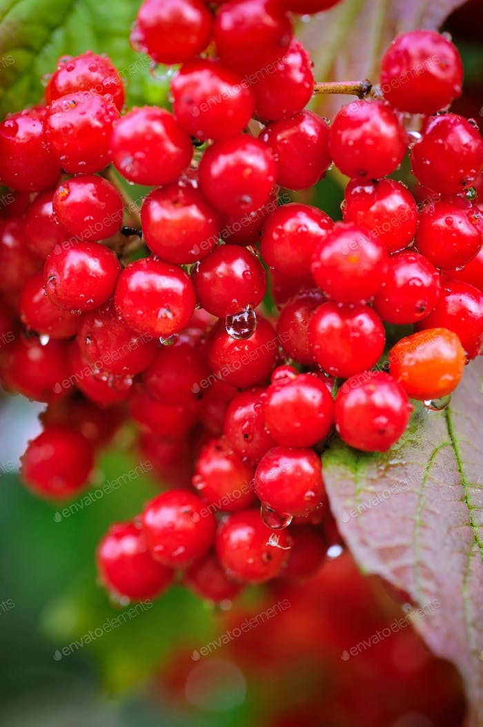 Guelder Rose, Viburnum opulus, Bündel von roten Beeren mit Tau