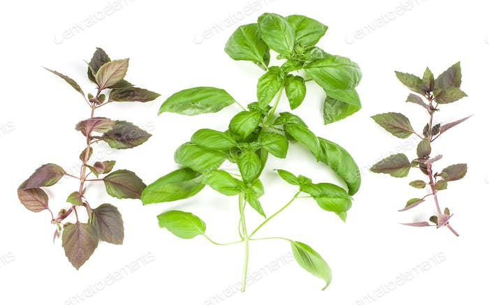 Varieties of basil leaves isolated on white background. Flat, Top view.