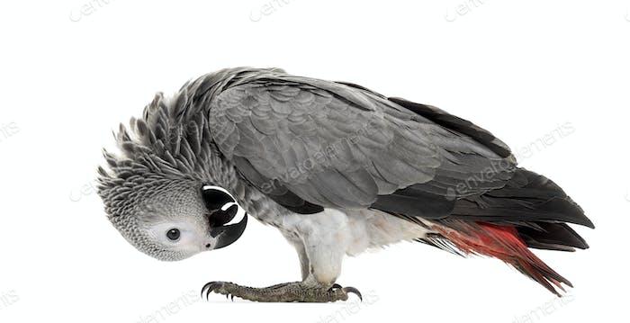 Afrikanische Gerie Papagei Federpflücken vor einem weißen Hintergrund