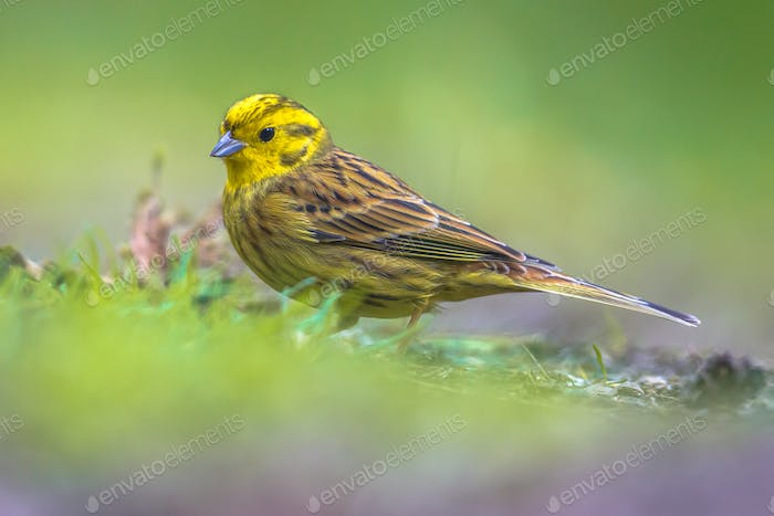 Yellowhammer foraging in backyard