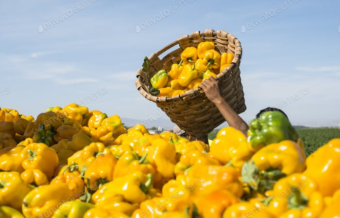 Picking peppers on agriculture field
