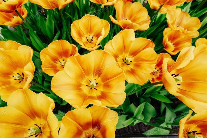 Schöne orangefarbene Tulpen. Holland.