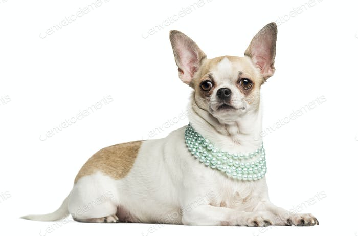 Chihuahua (2 years old) lying and wearing a pearl necklace, isolated on white
