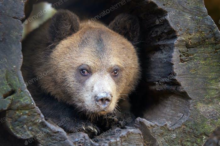 Nahaufnahme Bärenjunges Porträt