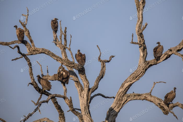 Group of White backed vultures perched in tree