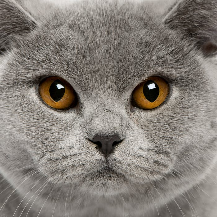 British Shorthair (8 months old), British Shorthair (6 months ol