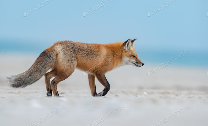 Red Fox on the Beach