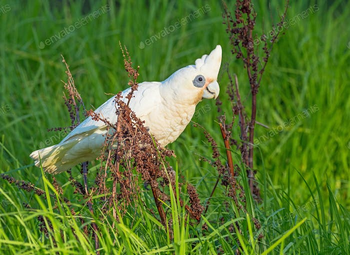 White Corella Feeding