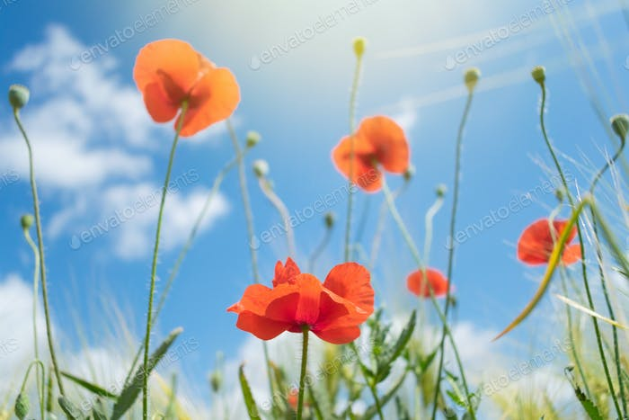 Beautiful bright red poppies with green grass and leaves in the background of blue sky and clouds