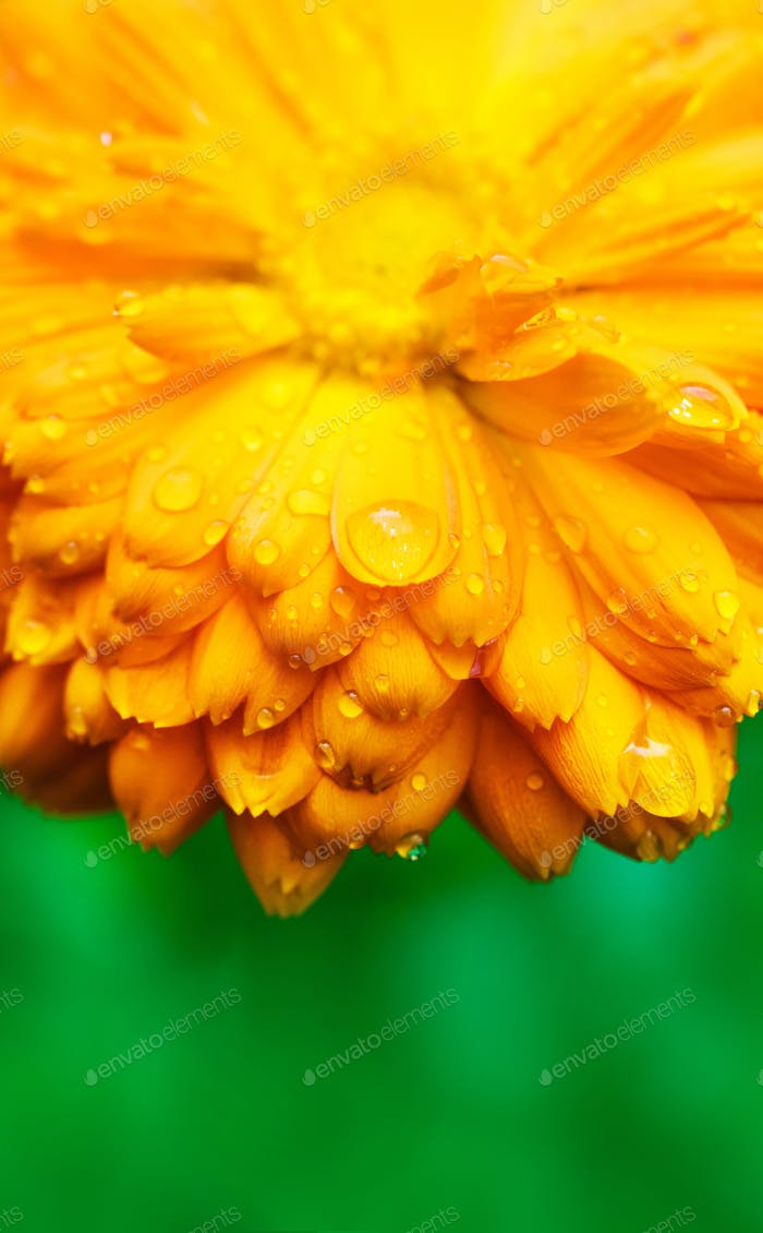 Yellow flower with wet petals close-up.