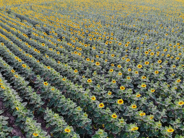 Top view rows of sunflowers in field