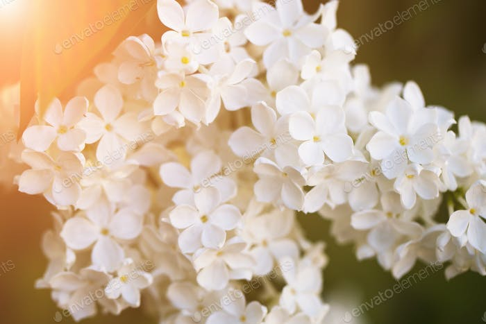 Closeup of beautiful and delicate spring white lilac flowers