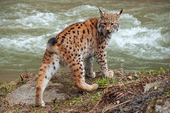 Eurasian lynx near water stream looking behind itself