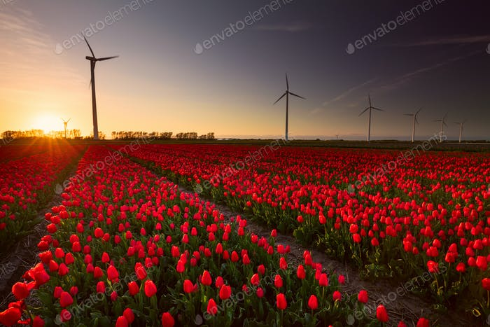 red tulip field and wind turbines at sunset