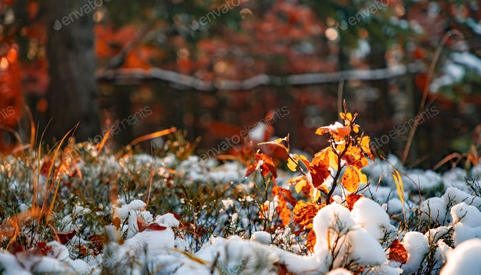 A small tree stands covered with snow in a clearing in the middle of a forest in the Carpathians