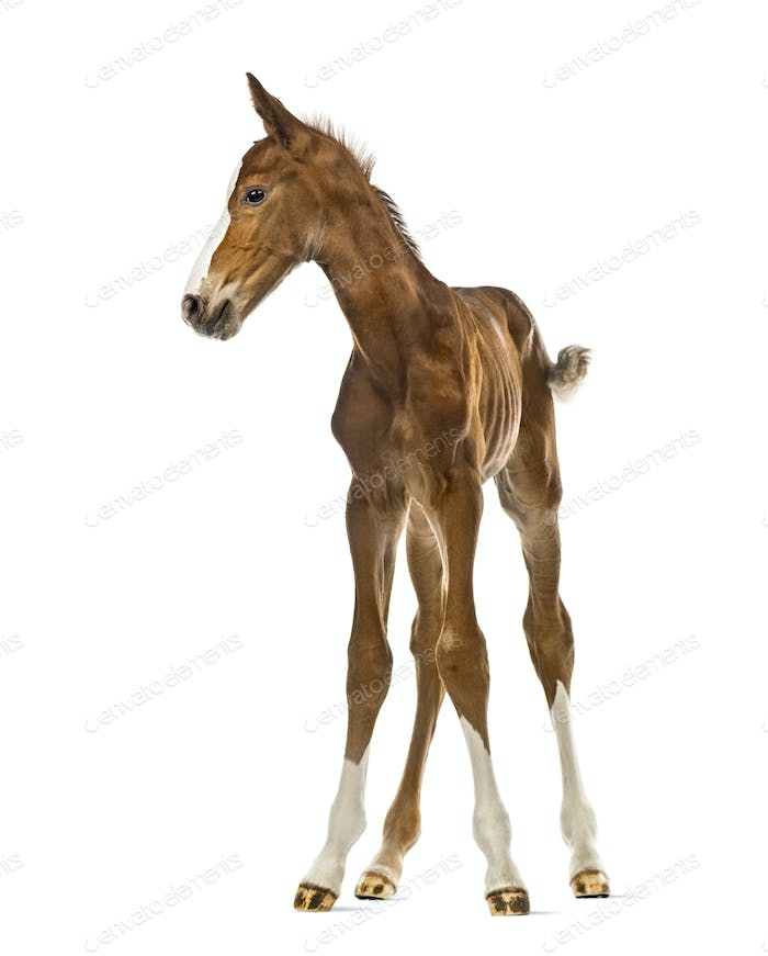 Foal looking away isolated on white