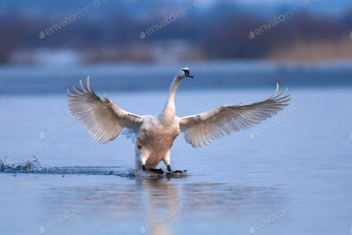 Mute swan, Cygnus olor, single bird in flight
