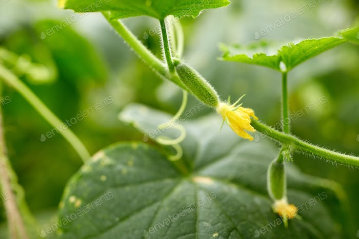 close up of cucumber growing at garden