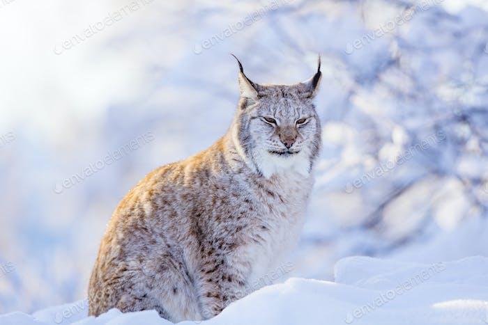 Nahaufnahme von stolzen Luchs Katze im Winter Sonnenuntergang