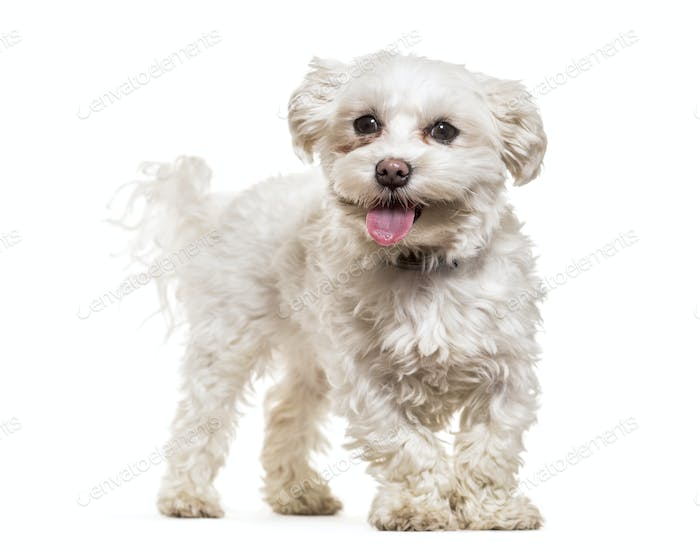 Maltese dog standing and panting, cut out