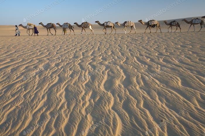 Kamelzug, eine Gruppe von Tieren, die von zwei Personen über windgepeitschten Sandstränden gehalten und geführt werden