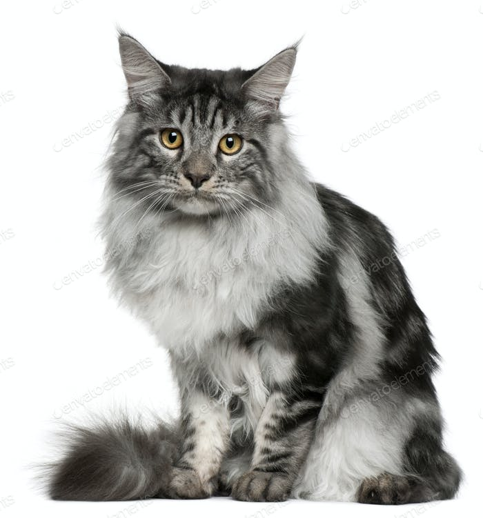 Maine Coon (7 months old)