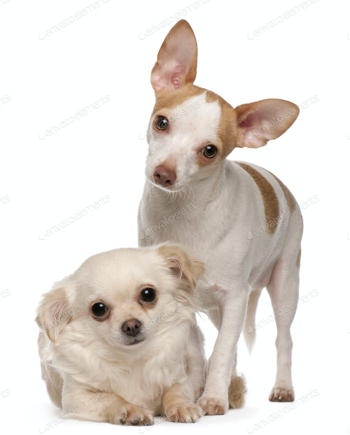 Two Chihuahua, 1 and 2 years old, in front of white background