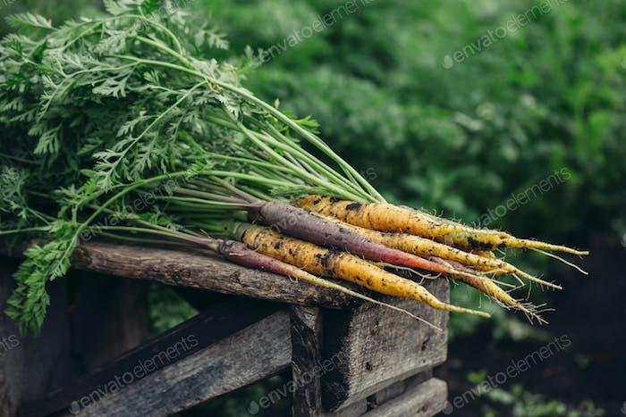 Bunch of fresh organic yellow and purple carrots