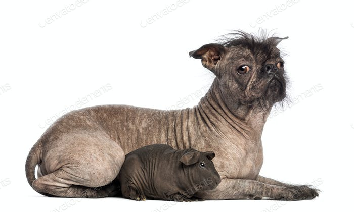 Hairless Mixed Breed Dog A French Bulldog And Chinese Crested Lying