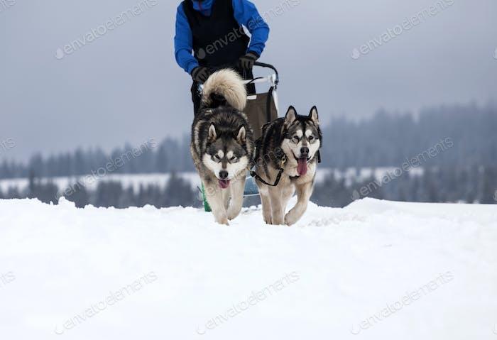 Rodeln mit Husky-Hunden in Rumänien