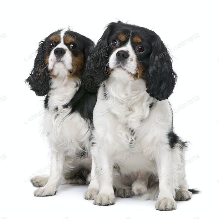 Paar von zwei Cavalier König Charles Spaniel (4 und 6 Jahre alt) sitzend