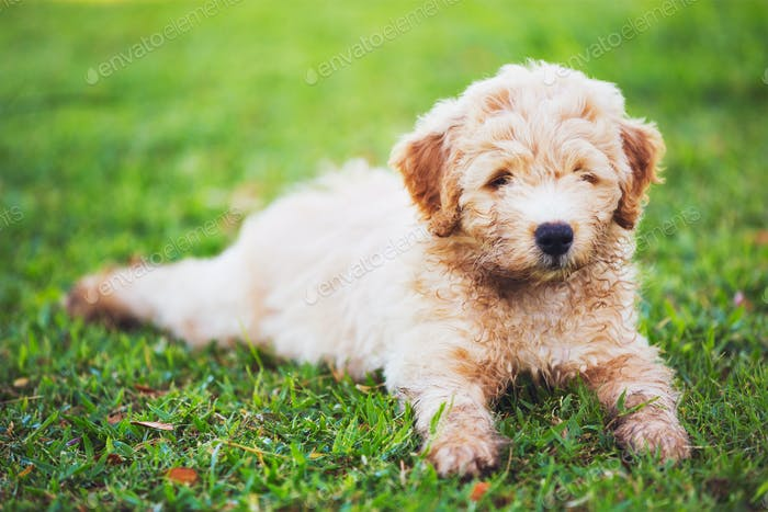 Adorable Cute Young Puppy