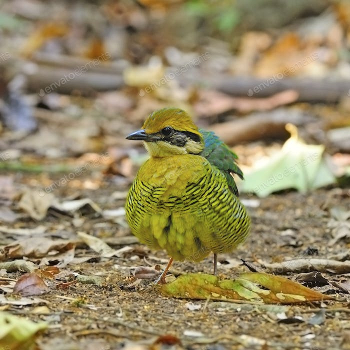 female Bar-bellied Pitta