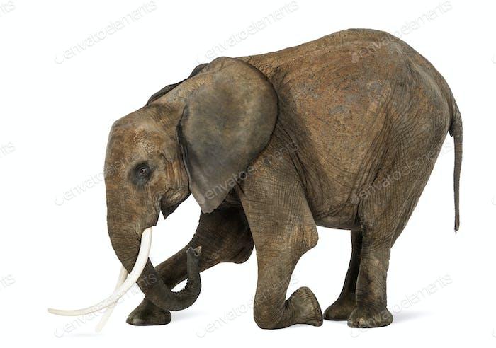 African Elephant kneeling, isolated on white