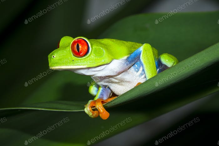 Red-eyed Treefrog Up Close in Costa Rica
