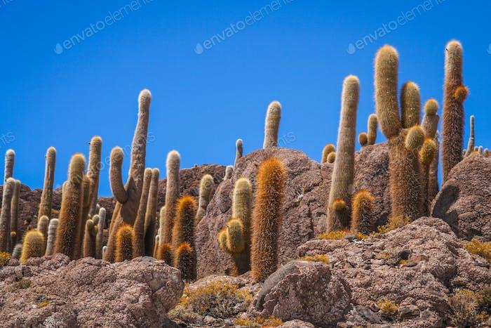 Cactus Island in Bolivia