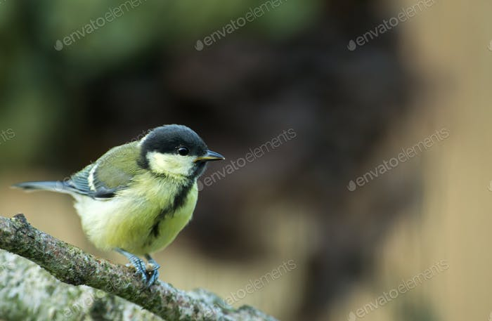 Young Great tit (Parus major) perching