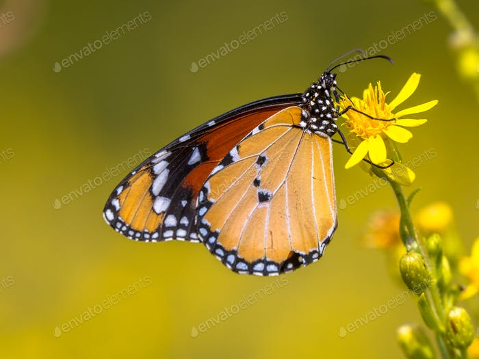 Plain tiger butterfly drinking nectar