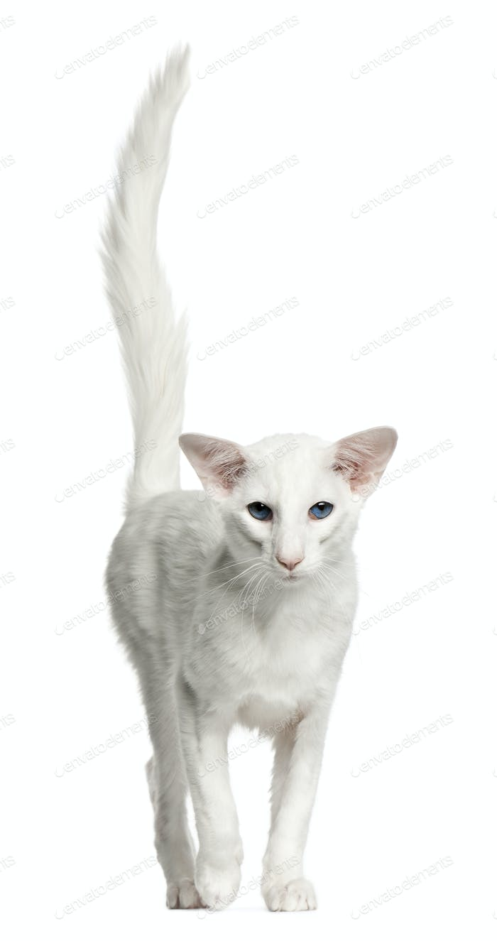 Balinese cat, 1 year old, standing in front of white background