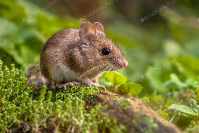 Cute Wood mouse in natural habitat