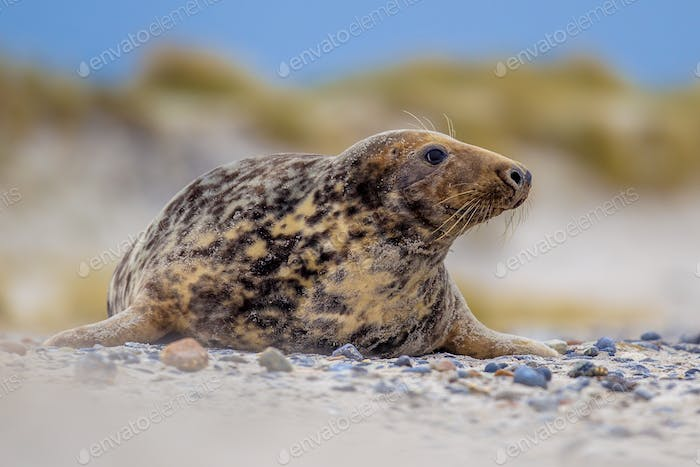 Female Grey seal with dunes background
