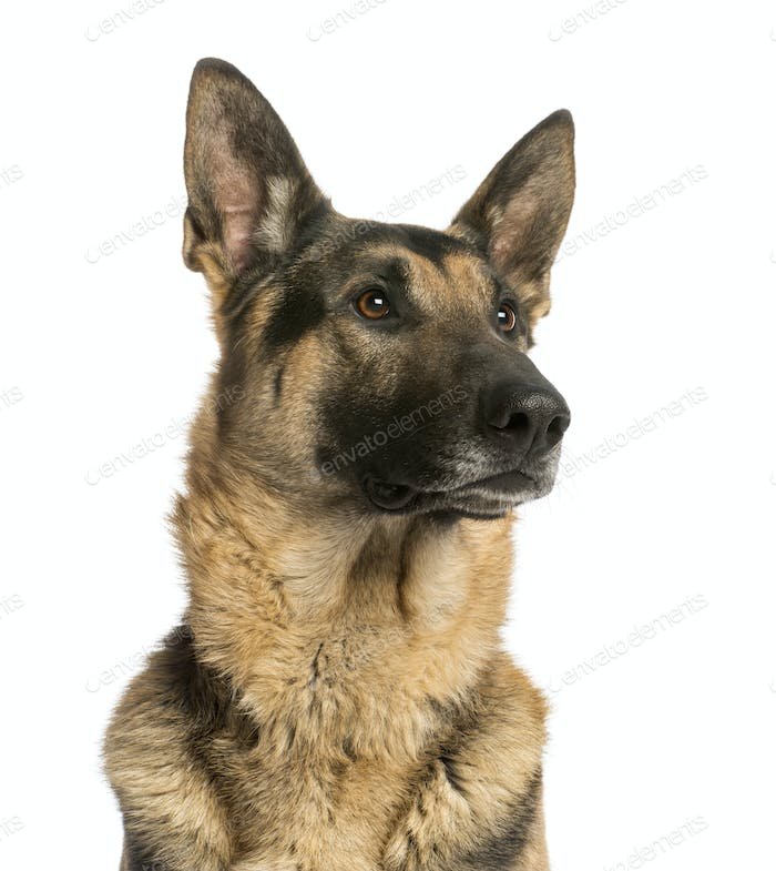 Close-up of a German shepherd looking away, 4,5 years old, isolated on white