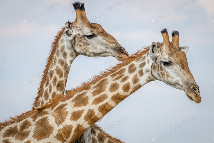 Close up of three Giraffes in Chobe.