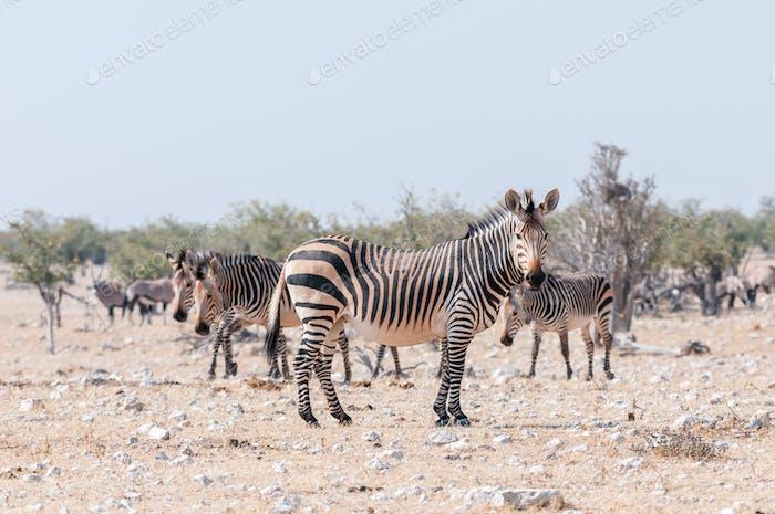 Pregnant Hartmann Mountain Zebra mare