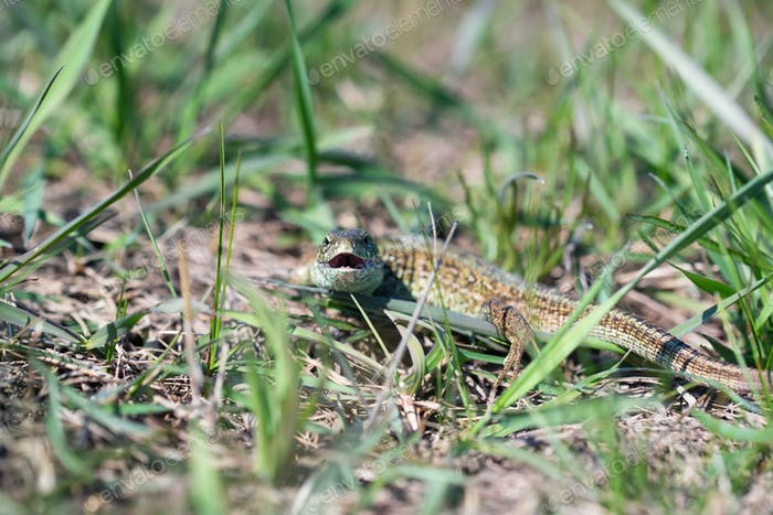 Portrait of happy quick lizard in grass