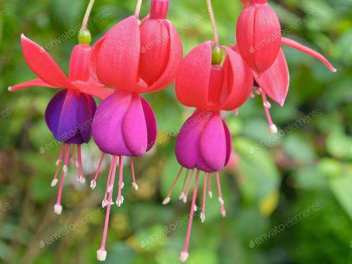 Lady Eardrops (Fuchsia) Blumen
