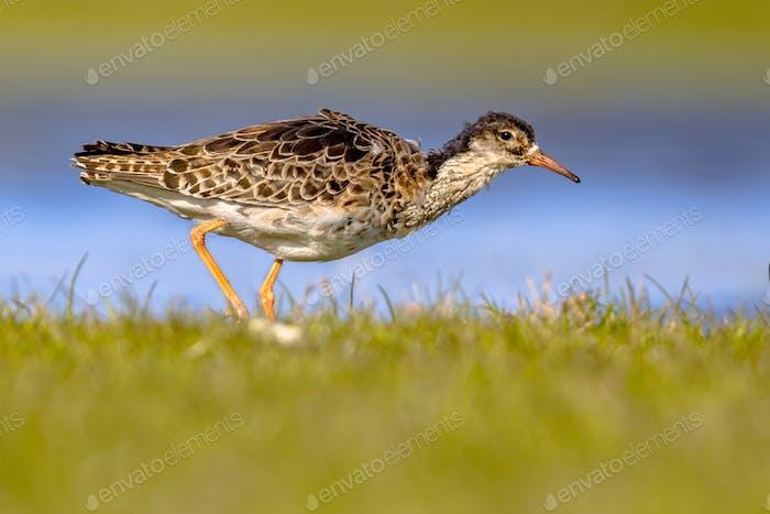 Ruff water bird feeding in grassland