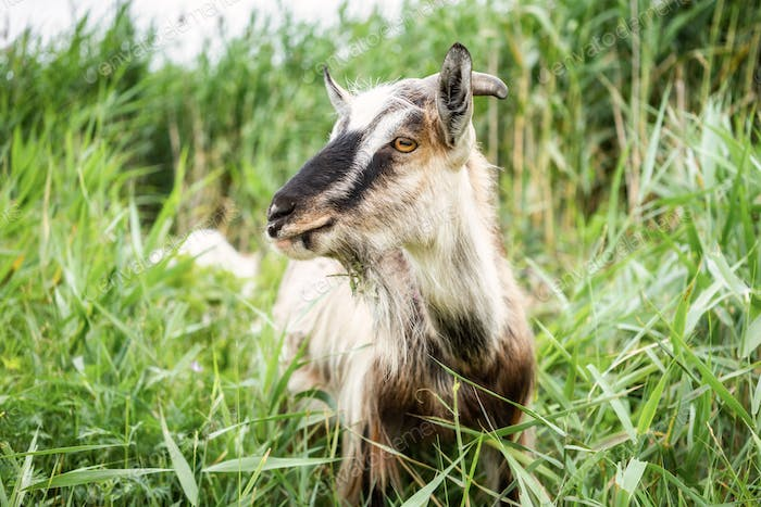Domestic smoke goat grazing in green grass