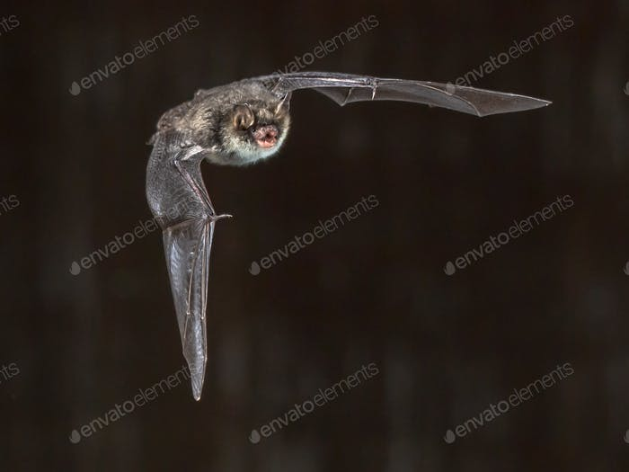 Flying natterers bat on grey background