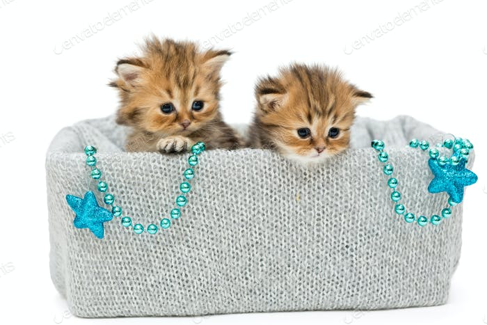 Two small British kitten in a knitted box